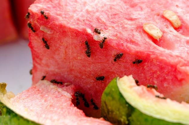 mravenci na melounu.jpg